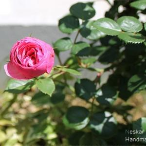 三度目のポンポネッラ 初開花