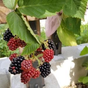 ブラックベリーも少しずつ収穫!