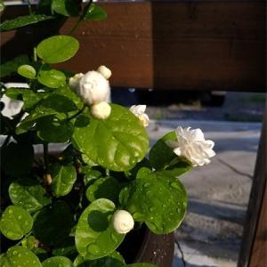 この時期はこの花だけが涼しそう、、&ひよこは露草を食べる?