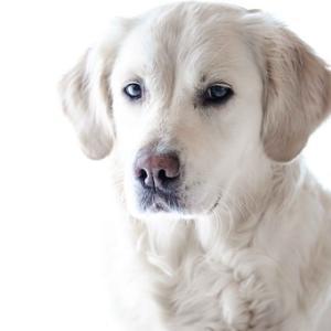 飼い犬・愛犬の噛みつき事故 ゴールデン・レトリーバーの赤ちゃん噛みつき事故から我々が学ぶこと