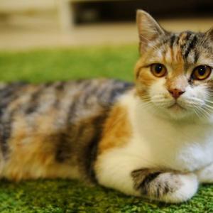 愛猫ぷいんぷいんぱいせん(あだ名)に乳首を引っ掻かれ、わいの乳首腫れる。