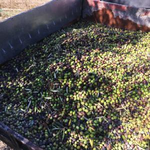 オリーブ収穫方法からオリーブオイルができるまで|マヨルカの田舎な一日