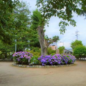 沼田公園のケンポナシ