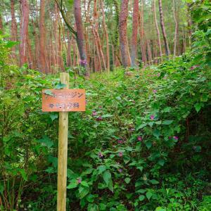 森林学習センター ツルニンジン