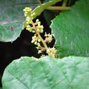 今日の道ばた ヤマブドウ