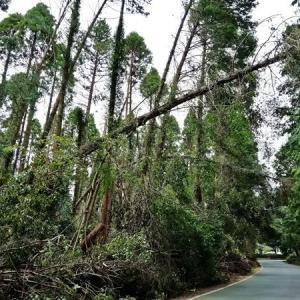 台風15号によって折れた杉林