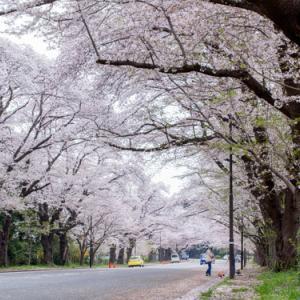 大井競馬小林牧場の桜並木