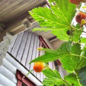 今年も豊作な庭のカジイチゴ