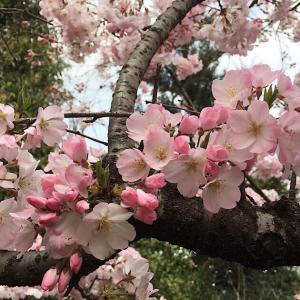 一人お花見「ジンダイアケボノ」都立神代植物公園