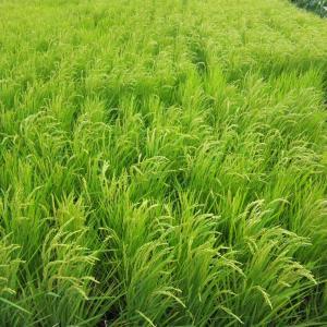 自然農で稲作に挑戦、初めての米作り