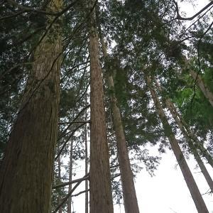 日本の森を蘇らせたい、杉パワーで地球温暖化を防ぐ
