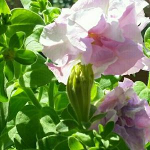 八重咲きペチュニア 意外と咲く