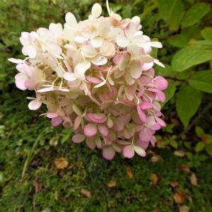 10月に咲く ピラミッド紫陽花