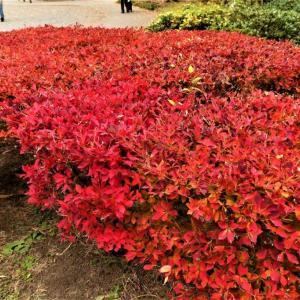ドウダンツツジの 真っ赤に燃える紅葉