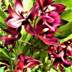 ワインカラーが美しい シクノデス・ワインデライトの花