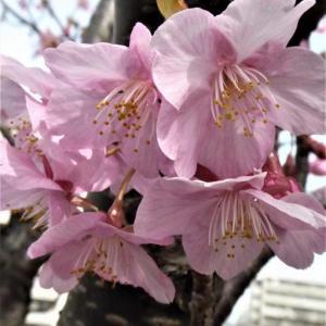 近所の河津桜が満開
