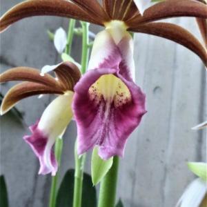 ブルグマンシア・ウェルシコロルの花