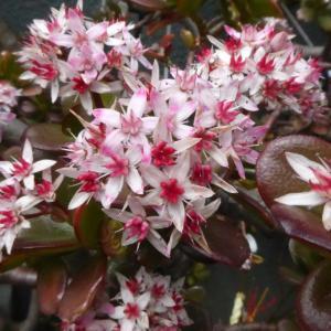 カネノナルキ(金の成る木)の花