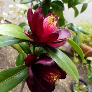 黒椿(ナイトライダー)の花