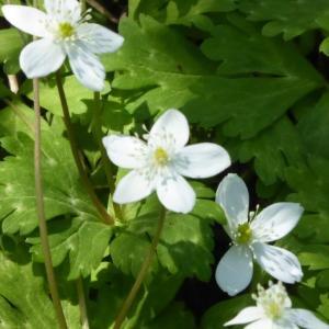 ニリンソウ(二輪草)の花