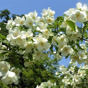 バイカウツギ(梅花空木)の花