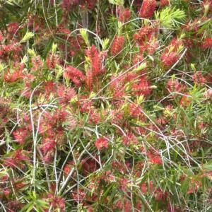 ブラシノキ(ブラシの木)