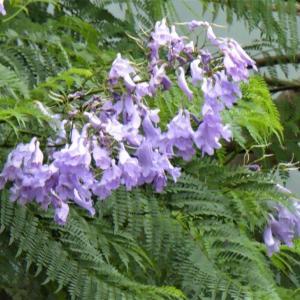 ジャカランダ(和名:紫雲木)