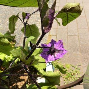 ナスの花と実