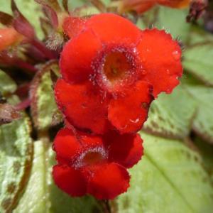エピスキア・アカジョウの赤い花