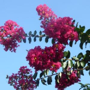 夏の花 サルスベリ(猿滑)