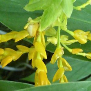 珍しい花 グロッバ・ションバーキー