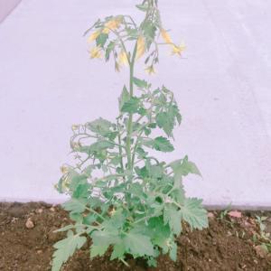 エクステリア:野菜作り ミニトマト始めます