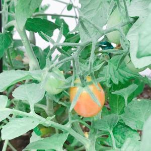 エクステリア:野菜作り ミニトマト色づいてきました