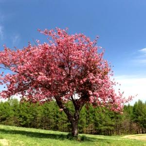「桜の咲く頃にはいつも思いだす…」episode-14