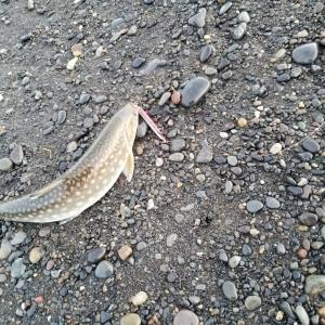 逃した魚は小サクラ?