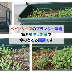 2020年ベビーリーフのプランター栽培:簡易虫除け対策で今のところ順調です