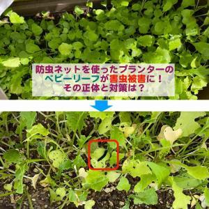 防虫ネットを使ったプランターの家庭菜園ベビーリーフが害虫被害に!その正体と対策は?