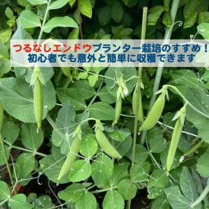 つるなしエンドウプランター栽培のすすめ!初心者でも意外と簡単に収穫できます