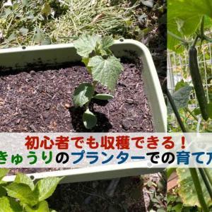 初心者でも収穫できるきゅうりのネットを使ったプランターでの育て方