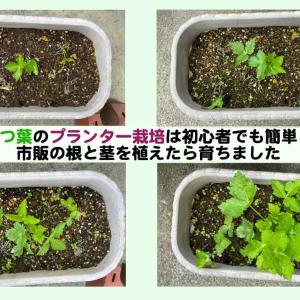 三つ葉のプランター栽培は初心者でも簡単!市販の根と茎を植えたら育ちました