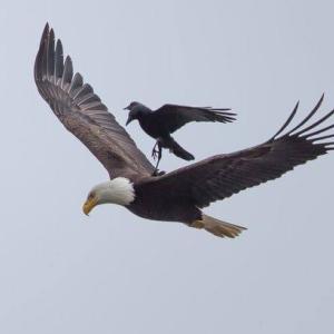 ワシの背中を利用するほかの鳥シリーズ。
