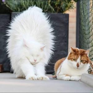 伸びをする白猫とそれを見るネコ
