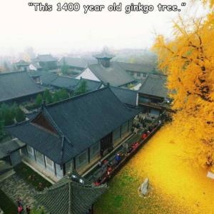 樹齢1400年のイチョウの木