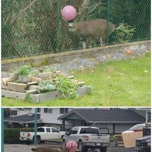 角にボールが挟まった鹿。