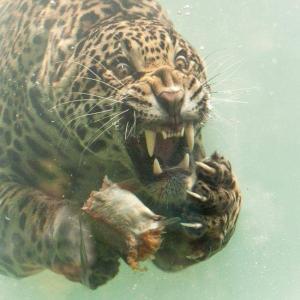 水の中のジャガーが怖いwww!!