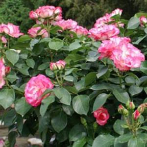世界平和へ一輪献花! 令和元年 11月2日 晴