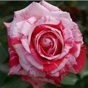 世界平和へ一輪献花! 平成31年4月2日 火曜日