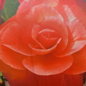 世界平和へ一輪献花! 平成31年4月12日 金曜日