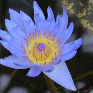 世界平和へ一輪献花! 令和元年 7月7日 土曜日 晴天