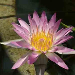 世界平和へ一輪献花! 令和元年11月7日 木曜日